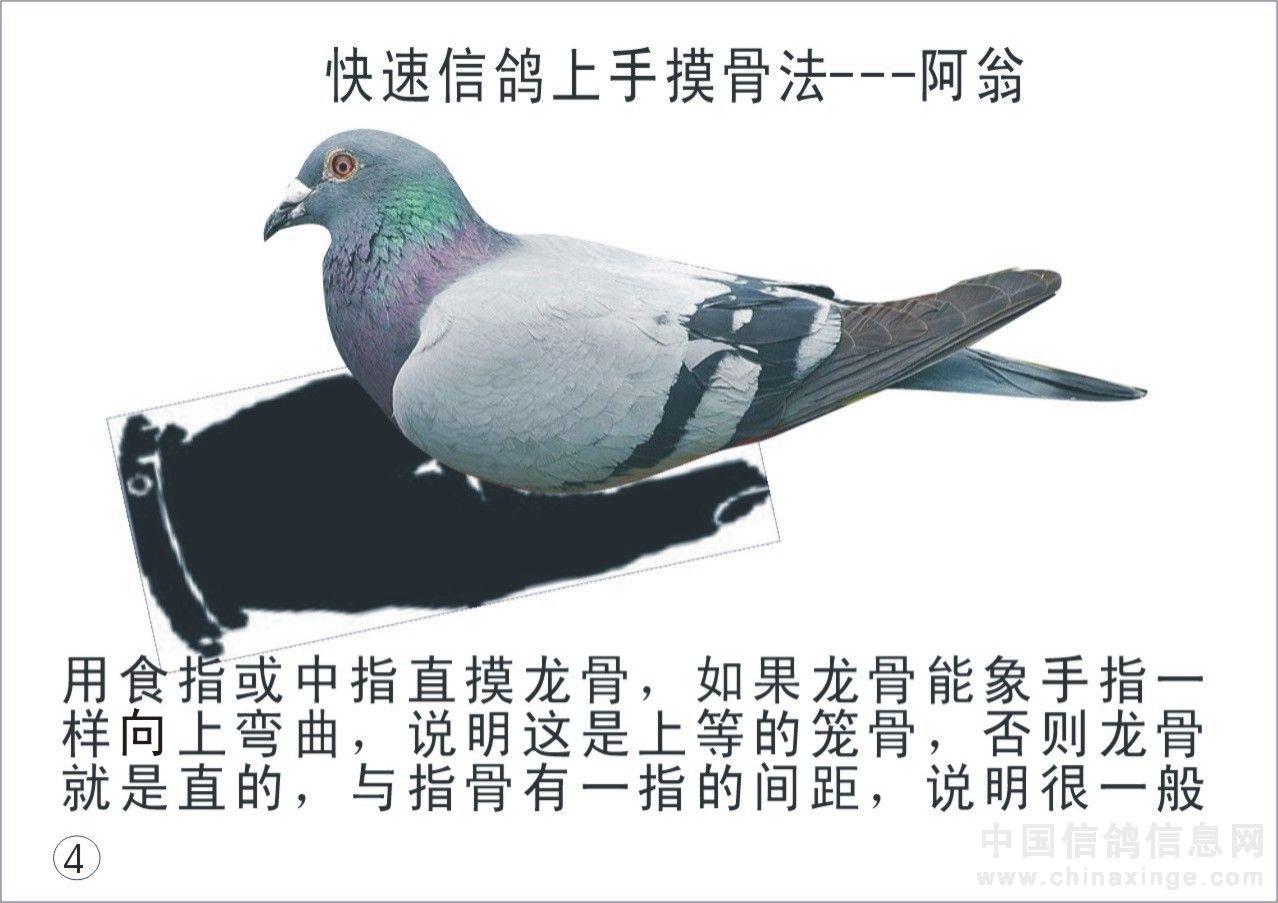 鸽子一上手就知有没有 图解图片