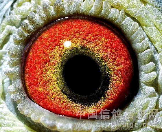 中、长距离耐力型冠军鸽鸽眼分析  这羽鸽子的眼睛给人的第一感觉是一只偏向长距离鸽子的眼睛。眼砂色彩鲜暗红,强劲有力的面砂地下透出暗黑色,这些都是它内在力量和耐力的体现,也透示出它的体内有长距离耐力鸽子的血脉。但同时它偏小而且呈椭圆形的瞳孔,位置和轴向都偏向前下方,前下方面砂非常的稀疏完全透出底砂。在眼志圈的嘴角方向的前下方透出很粗的放射状黑丝,在眼志圈嘴角方向形成放射状的黑斑,这些特征又透示出它具备极快速飞行的能力。 这羽鸽子的眼志扎实从里面泛出圈状黑丝,眼志里隐藏着一圈颇有力道的暗黄色内线口。这说明它也