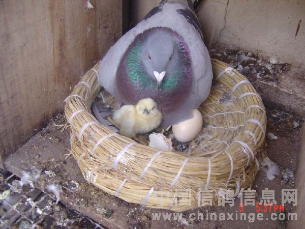 小幼缝_我的鸽舍里趣味图片-中国信鸽信息网 www.chinaxinge.com
