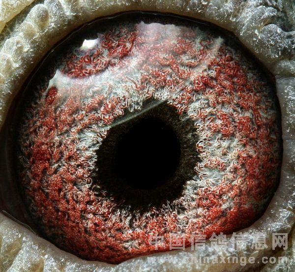 关赛鸽眼浅析及眼志 内线扣 眼砂