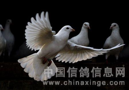 鸽子简介2---和平友谊的象征