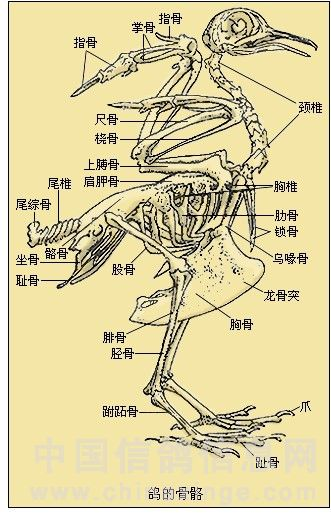 其实鸽子的骨架结构非常复杂的