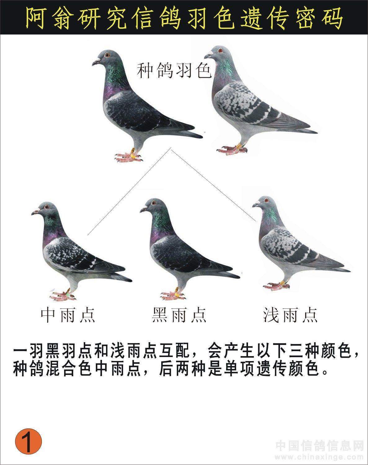 信鸽羽色配对_信鸽羽色配对-有进鸽舍-中国信鸽信息网各地鸽舍