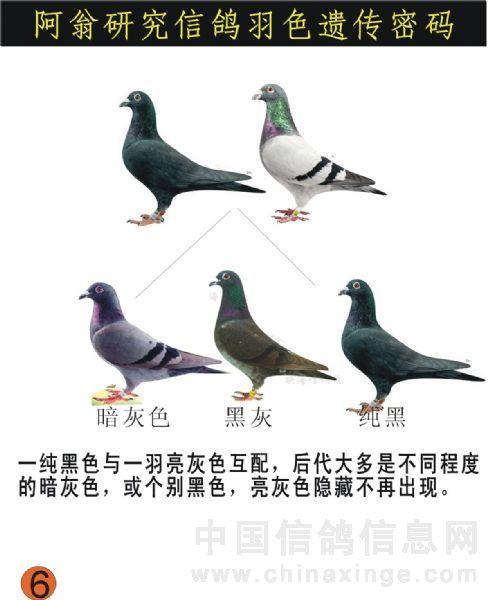 信鸽羽色配对_鸽子的颜色配对_日志_霞飞鸽舍 - 赛鸽资讯网