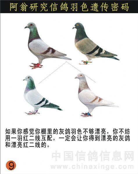 信鸽羽色配对_鸽子的颜色配对__赛鸽资讯网