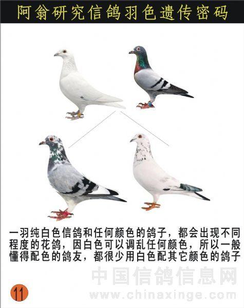 鸽子的颜色配对[图解]