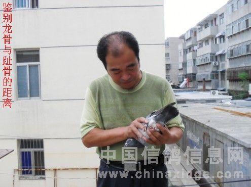 圖解:怎樣鑒別快速鴿?-信鴿園地-中國信鴿信息網