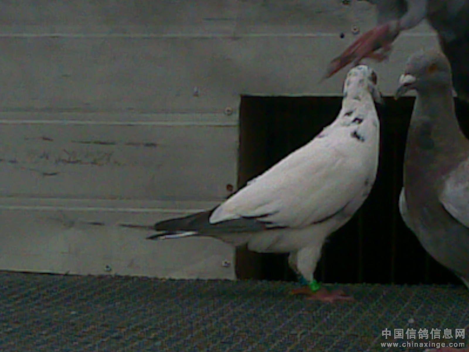 换羽期赛鸽容易受惊,一羽受惊的鸽子