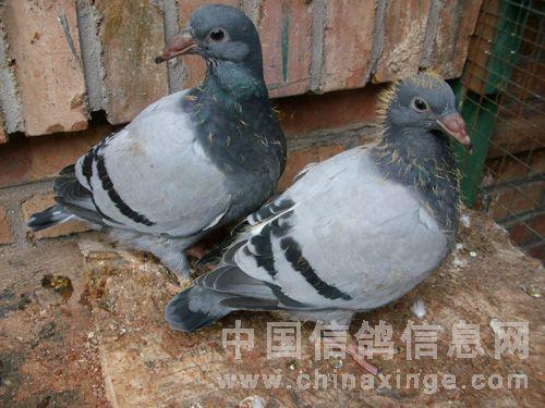 中国信鸽协会_成长过程(图)-中国信鸽信息网 www.chinaxinge.com