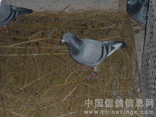 冬季鸽舍 最佳保温方法 先飞缘赛鸽 中国信鸽信