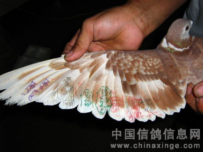 最新报道鸽翅膀 图-松明鸽舍-中国信鸽信息网