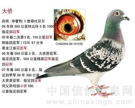 新手养鸽不可操之过急-新手引种的捷径图片