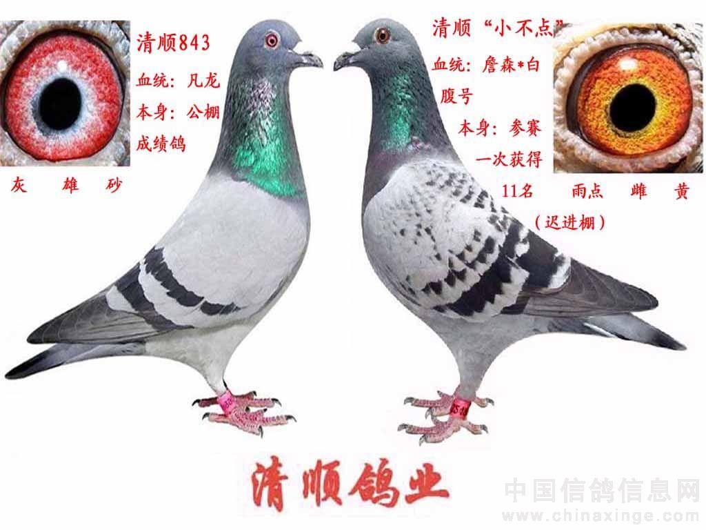 中国信鸽协会_2010年部分配对种鸽-清顺鸽业刘昊-中国信鸽信息网 www.chinaxinge.com