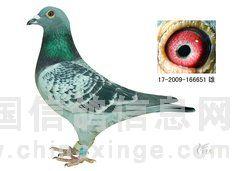 仙桃新宇鸽舍2010年的种 赛鸽照片