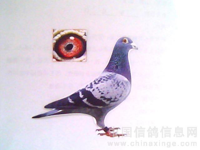 鸽子新城疫的治疗_鸽新城疫与腺病毒-鑫垚赛鸽-中国信鸽信息网各地鸽舍