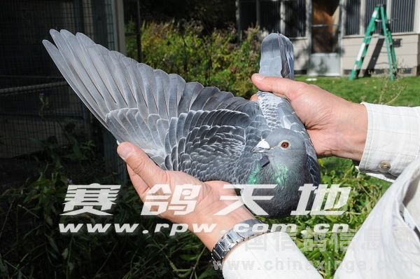 鉴鸽暗藏玄机 盘锦蚂蚁鸽舍 中国信鸽信息网 w