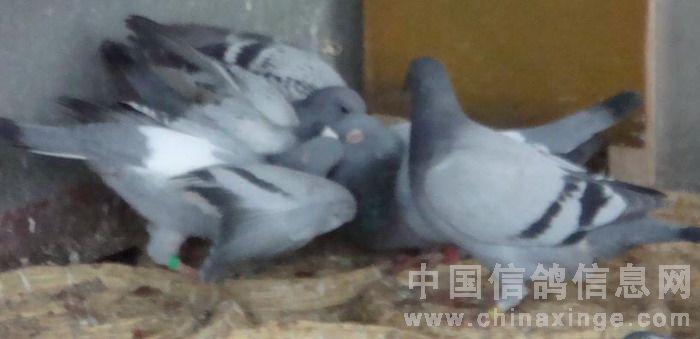 怎么才能喂好雏鸽----读高王宏《幼鸽生长的重要阶段 ...
