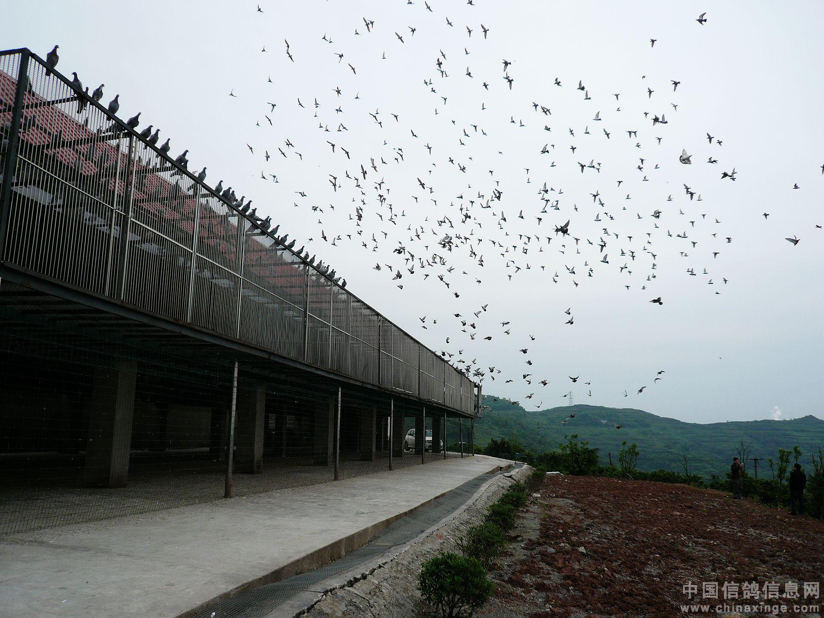 重庆赛鸽大联盟赛鸽中心最新生活照图片