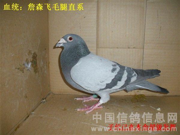 浅谈培养信鸽亲和力的重要性 唐山马氏鸽苑