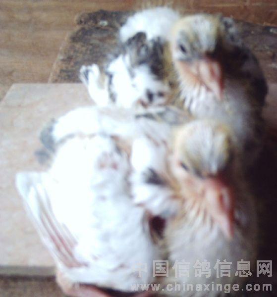 一对雨点信鸽作育的第二窝小白鸽-羽色遗传变异的困惑图片