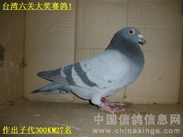 浅谈信鸽的管理的重要性 唐山马氏鸽苑