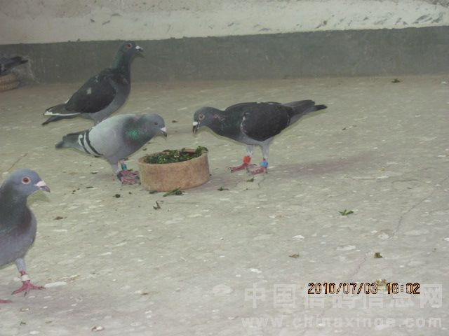 雨点雌鸽是西安张文革的鸽子 -巧喂马齿菜 图图片