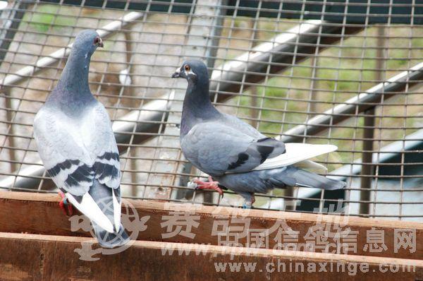 动物 鸽 鸽子 鸟 鸟类 600_398