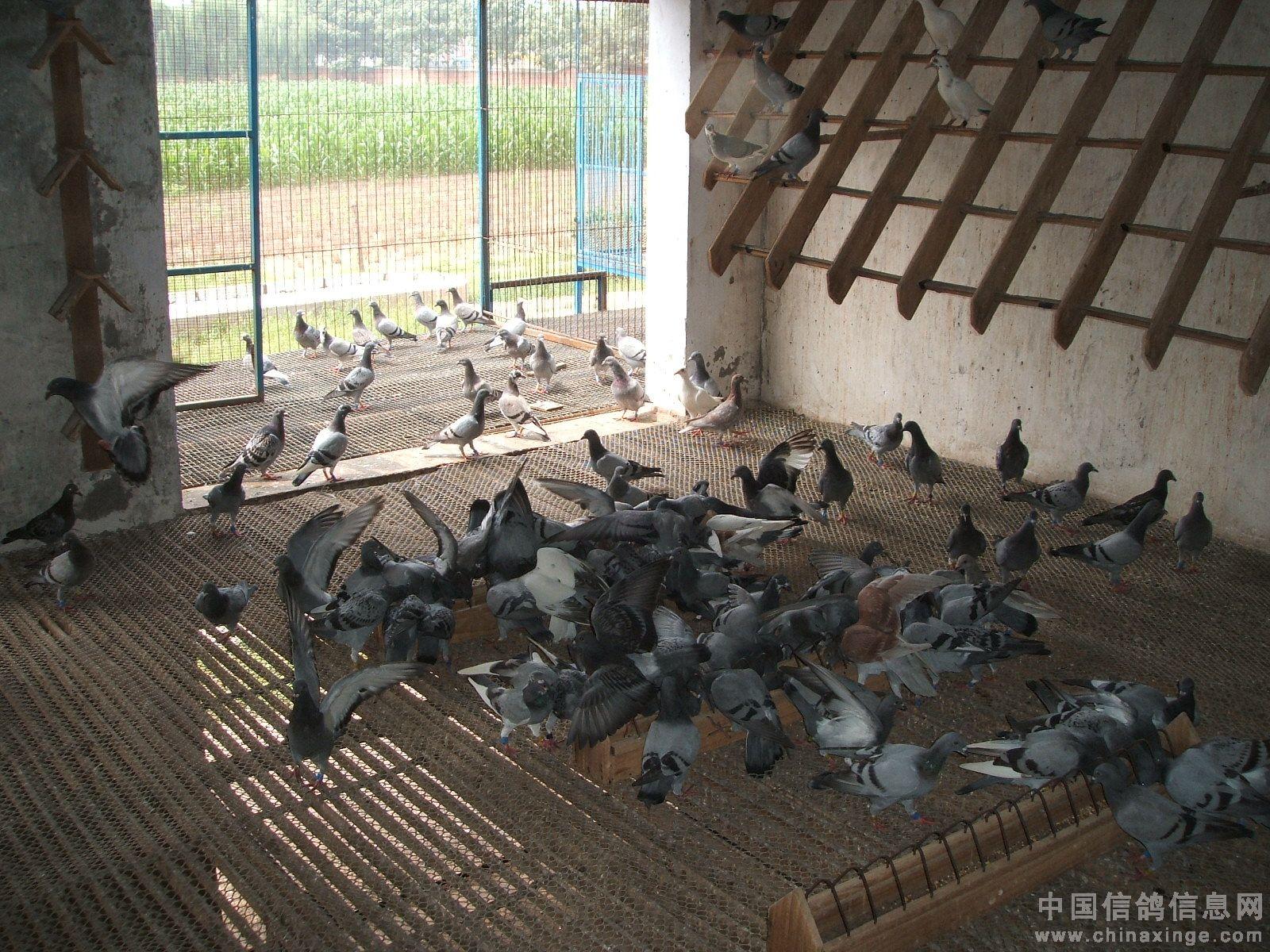 郑州铁路信鸽协会领导到轩辕公棚检查工作(图)