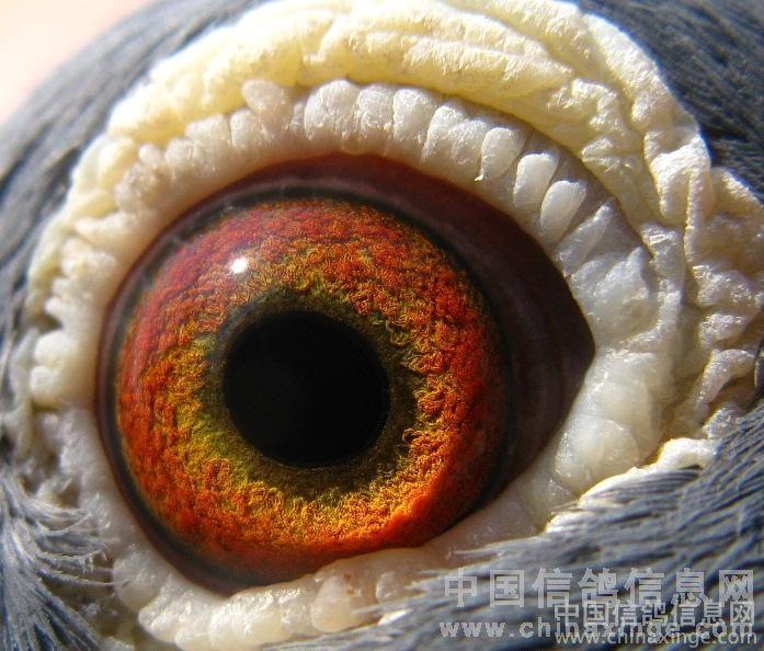 如白底粉红砂互配,浅黄眼配白底桃花等,其后代鸽眼颜色会变浅,变模糊