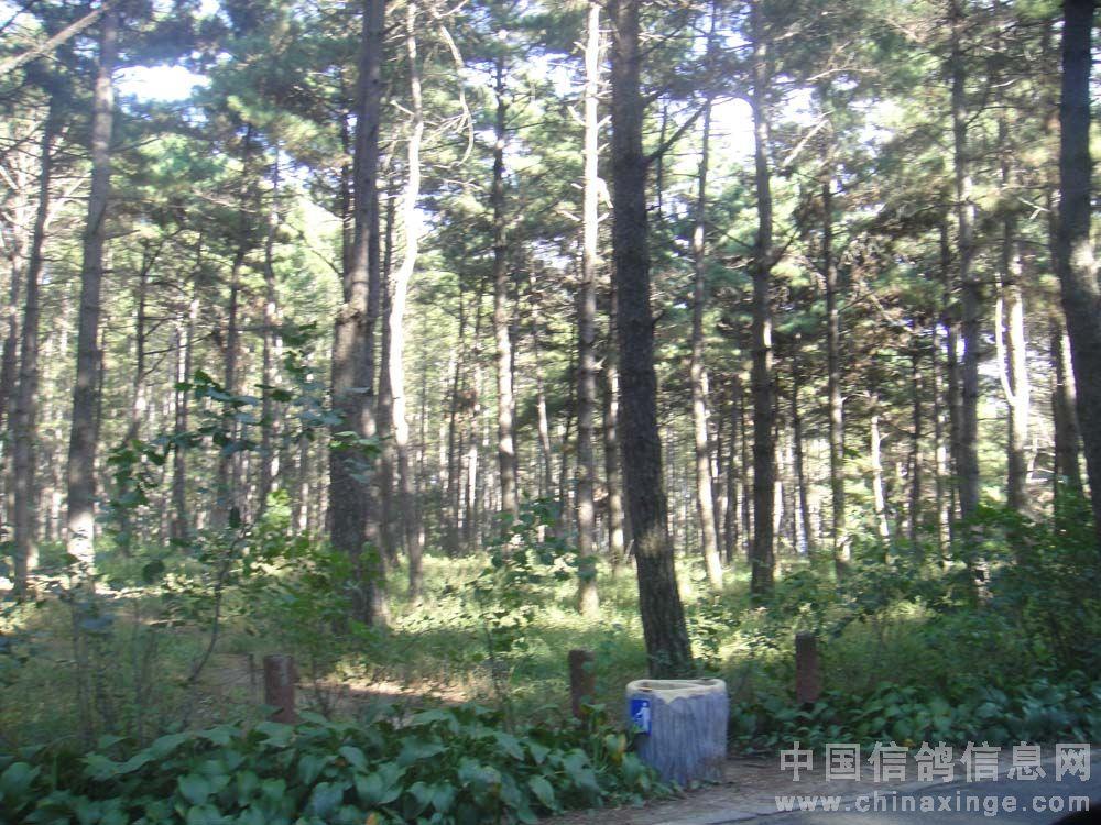 还算是茂密的松树林