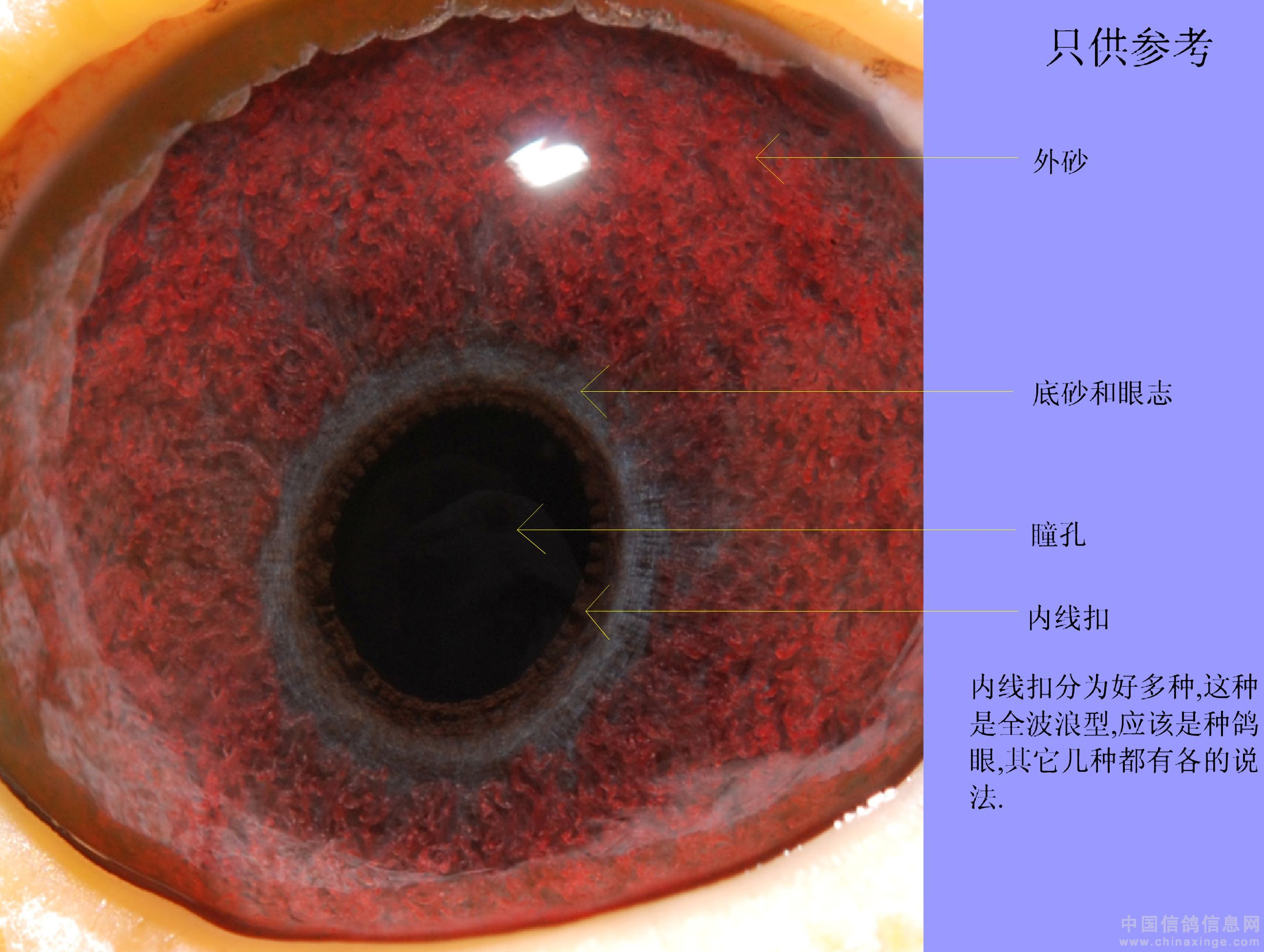 信鸽眼解刨图_鸽眼的分解(图)-中国信鸽信息网 www.chinaxinge.com