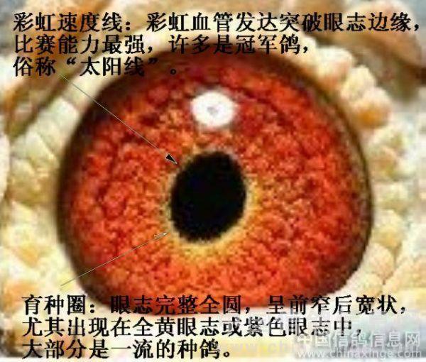 """信鸽 鸽眼怎么样能看出好坏呢? (一) 眼色 信鸽有着各种颜色的眼睛,我们俗称""""眼砂"""",眼砂是由许多眼底血管组成,颜色的产生是因为鸽眼中有进四亿个感光细胞,分别为:红敏色素、蓝敏色素、黄敏色素、白敏色素组成。因此,大家将鸽眼归为三大类,桃花砂、鸡黄砂、牛砂。有人认为""""砂眼易飞阴天,黄眼易飞晴天,牛眼易作种""""但在各个赛事中,各种颜色眼砂的鸽子都能取得好的成绩。 (二) 鸽眼与归巢 鸽眼其归巢是否有着密切关系是许多人所争论的一个问题。现在,有许多人都指出(甚至不下结论)某一鸽眼中的奇怪现象是难得的良鸽"""