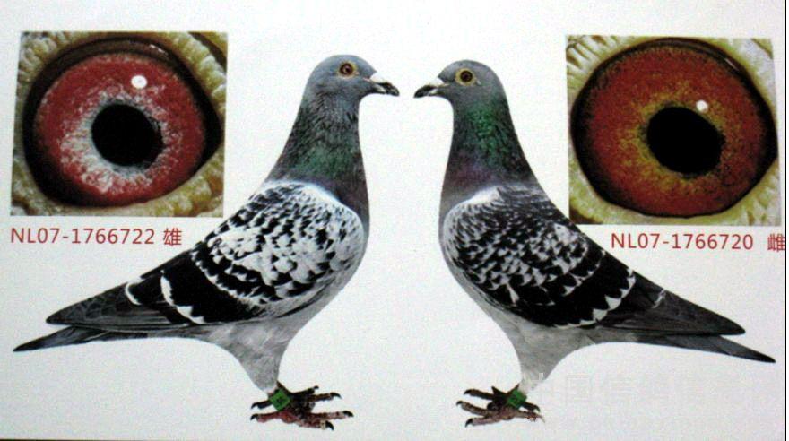 信鸽遗传公式图解