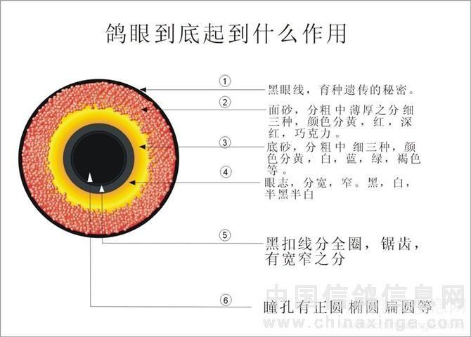 鸽子眼睛图片欣赏图解-榆林荣凯鸽舍-中国信鸽信息网