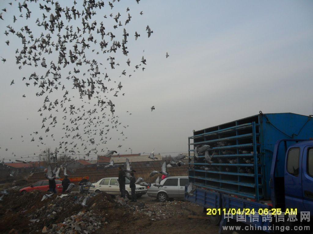 放飞鸽子的瞬间-盘锦郭氏信鸽-中国信鸽信息网