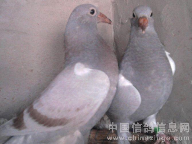幼交中国_如何选择最合适的幼鸽交公棚-沙漠王中王-中国信鸽网