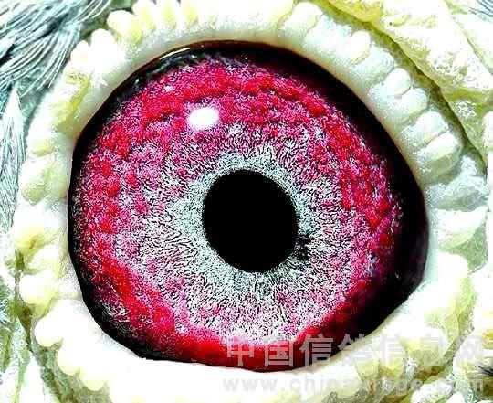 信鸽眼睛:瞳孔椭圆、层次分明呈 (砂满沉实眼志宽,色彩浓重非一