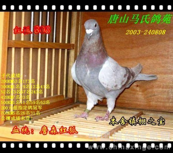 红色的鸽子要怎么用呢.一般红色的鸽子配灰鸽和雨点鸽,经过羽色和图片