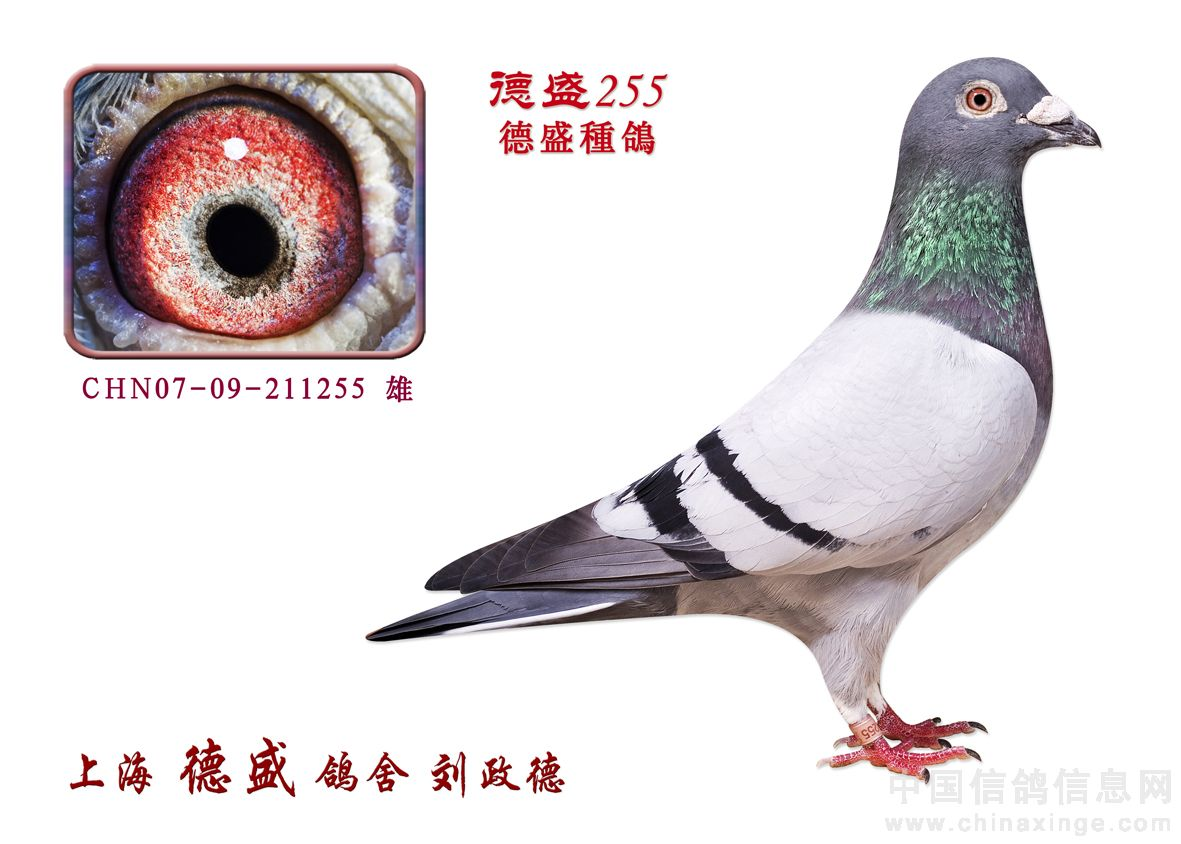 德盛鸽舍冠军鸽欣赏 上海德盛鸽舍 中国信鸽信息网