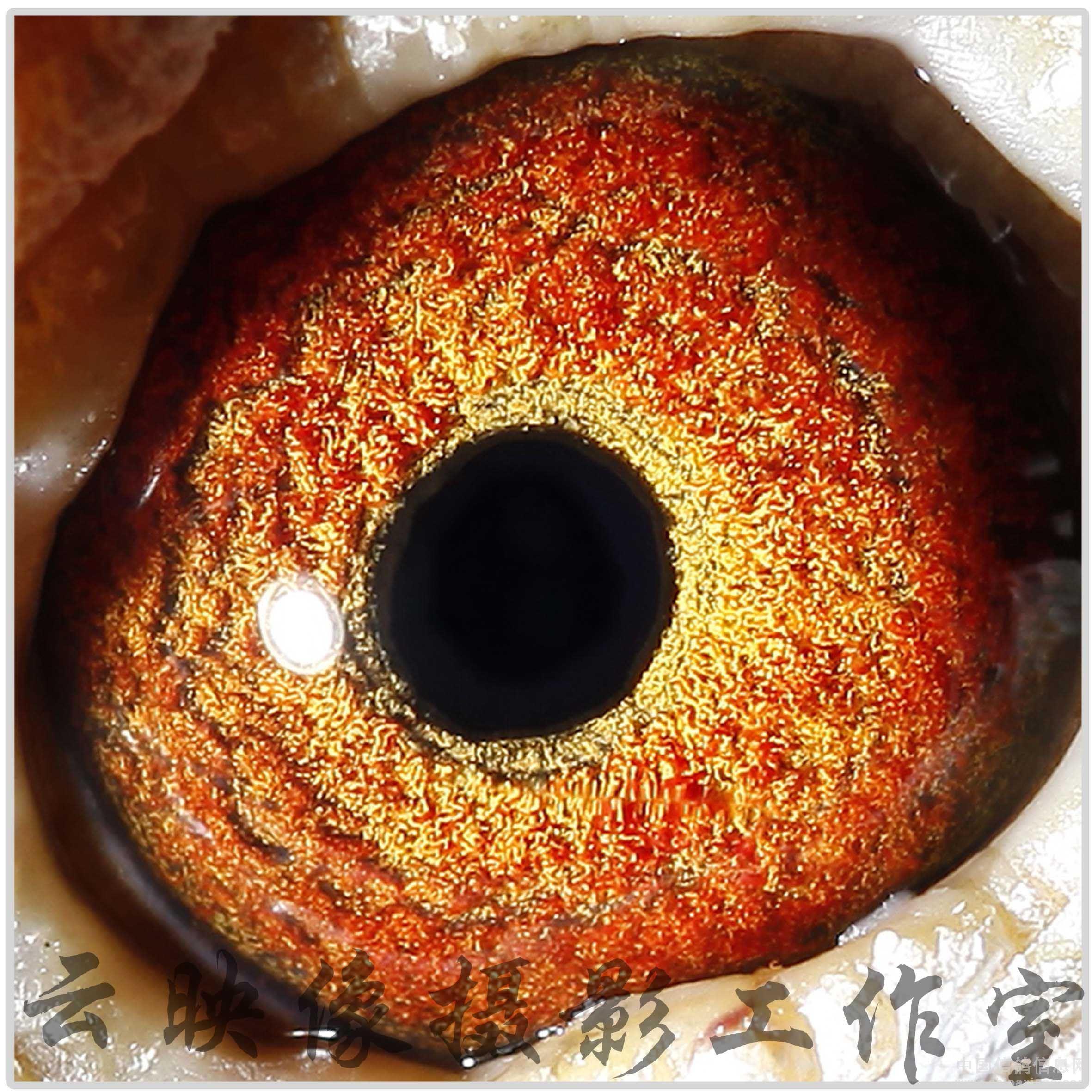 中国 鸽舍/优秀种赛鸽鸽眼欣赏