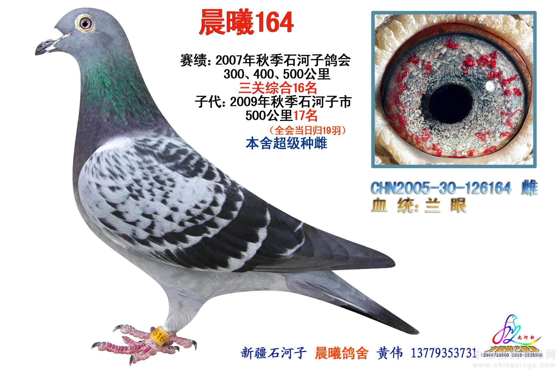 兰眼再创佳绩(图)-新疆石河子方圆鸽舍-中国信鸽信息图片