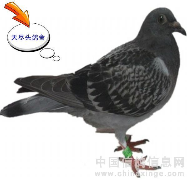 夏季鸽子的常见病与防治图片