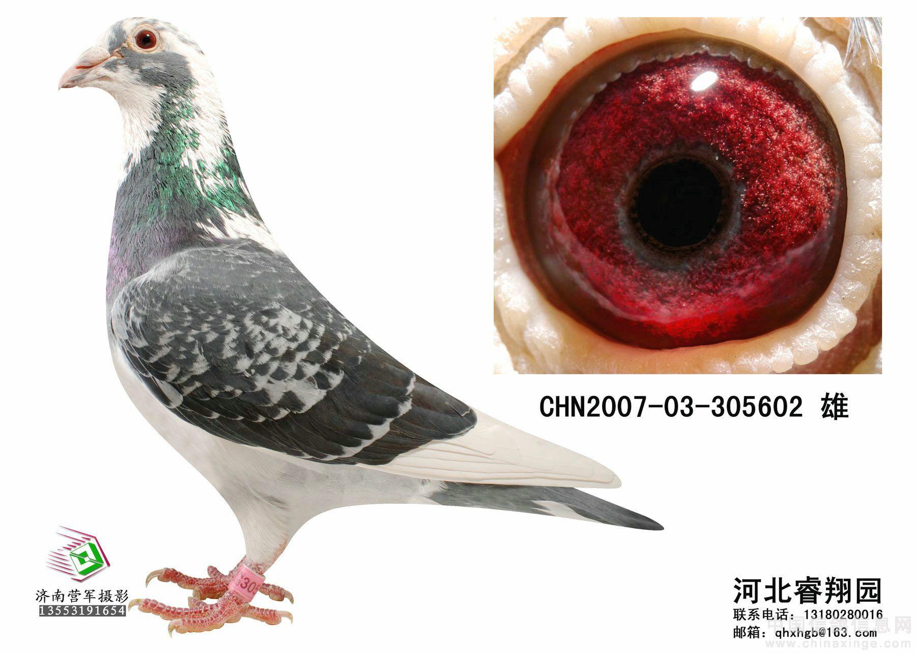 河北睿翔园种鸽拍卖第三期开拍