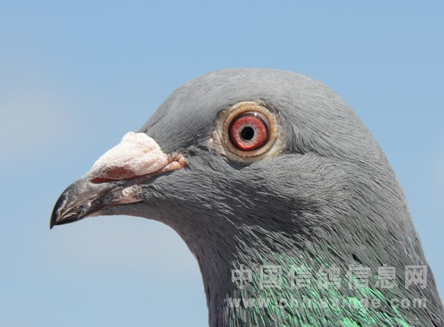 好赛鸽的眼睛应该明亮的-秋训赛鸽的挑选与训练
