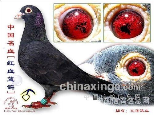 鸽子眼睛的解剖结构图片