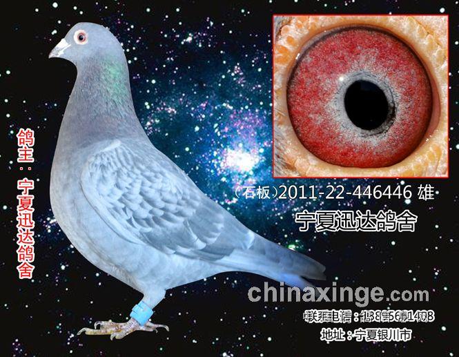 怎样鉴别信鸽的鼻子-马力迅达鸽舍银川-中国信鸽信息
