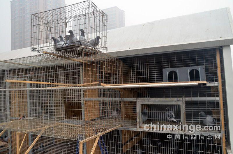 名符其实的赛鸽高手罗自明(图)-信鸽园地-中国信鸽图片