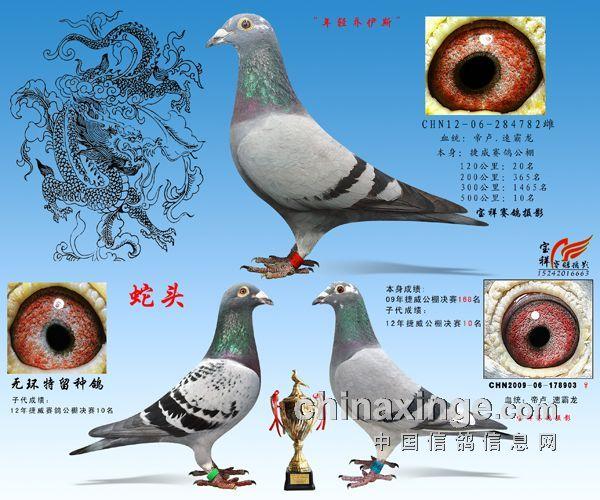 迪 范西 我的速霸龙系 宝祥赛鸽摄影 中国图片