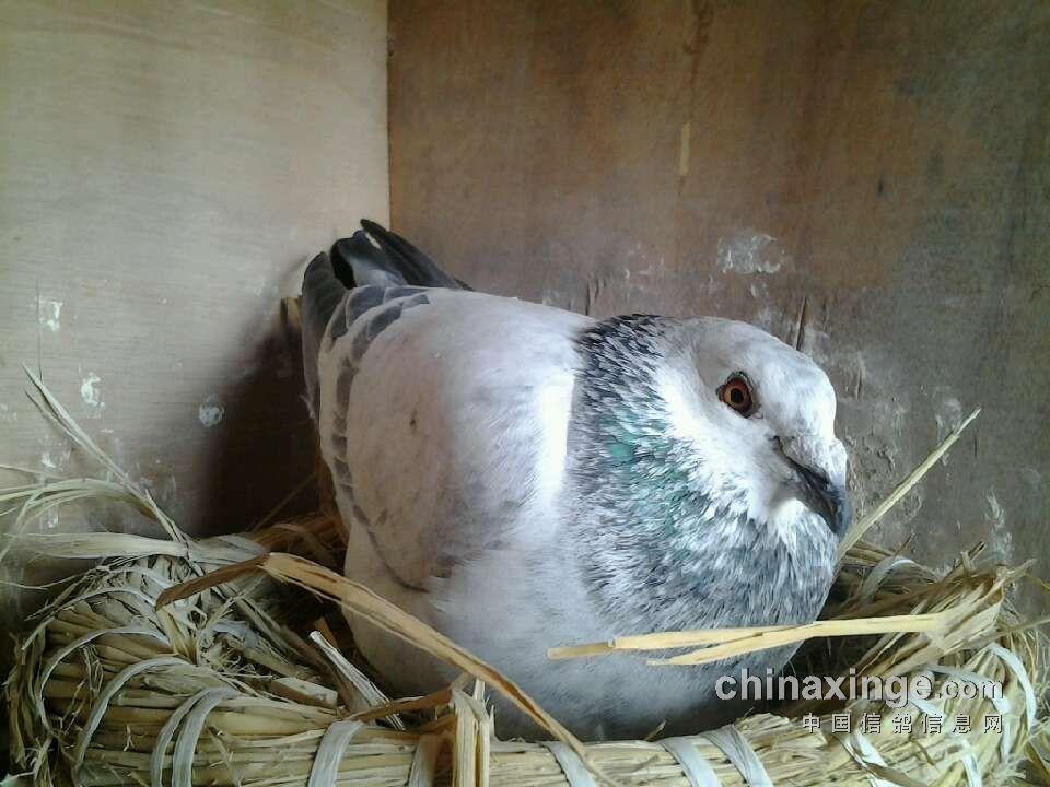 动物 鸽 鸽子 鸟 鸟类 960_720