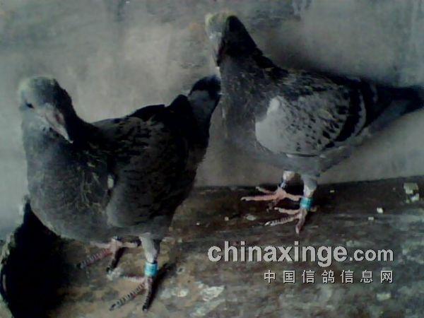 动物鸽蚂蚁鸟鸟类600_450恐怖老片女主被鸽子咬了图片